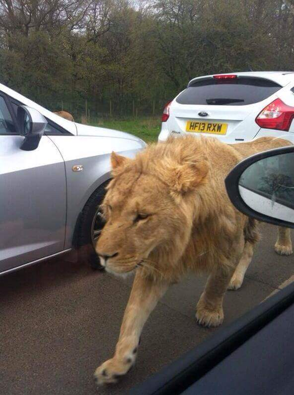 PHOTOS OF 6 LIONS CAUSING PANIC IN LANGATA AND KIBERA