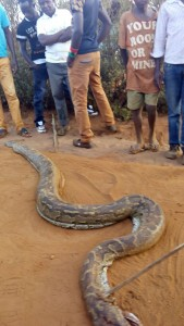 HUGE SNAKE KILLED IN KITUI CAMPUS