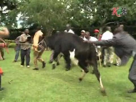 raila chased by cow