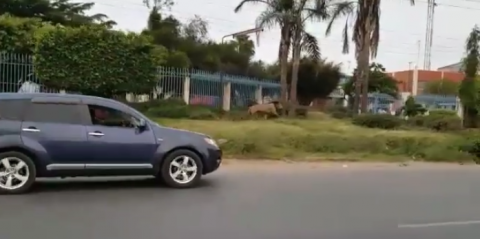 BIG LION SPOTTED MOMBASA ROAD