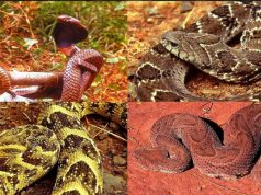 most dangerous snakes in kenya